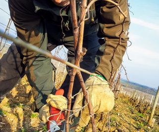 Formation taille de la vigne
