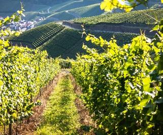 Viticulture : l'importance de la taille de la vigne